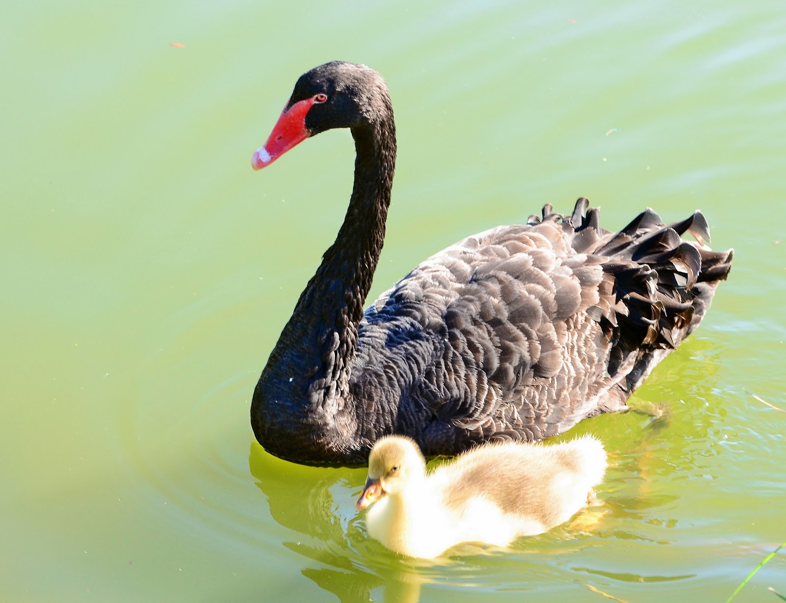 an essay on the swans of lake morton