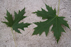 Two maple leaves.