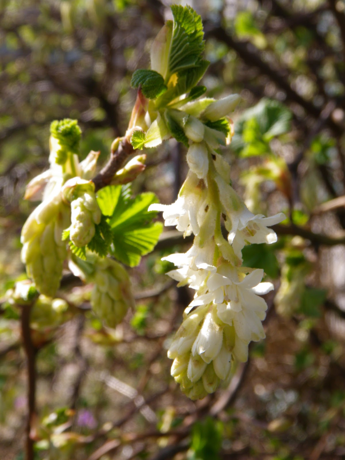 Im In The Garden Today White Flowering Currant Ribes