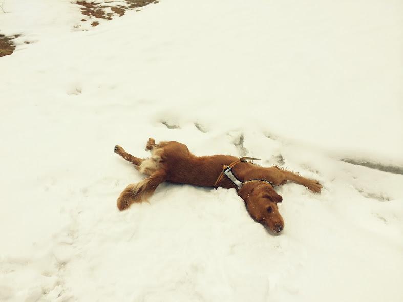Scala ruller seg i snøen