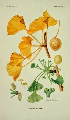 Ginkgo Plant Description