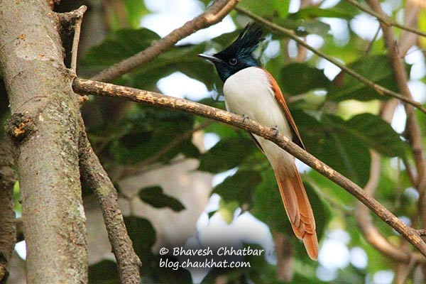 Asian Paradise Flycatcher on a branch