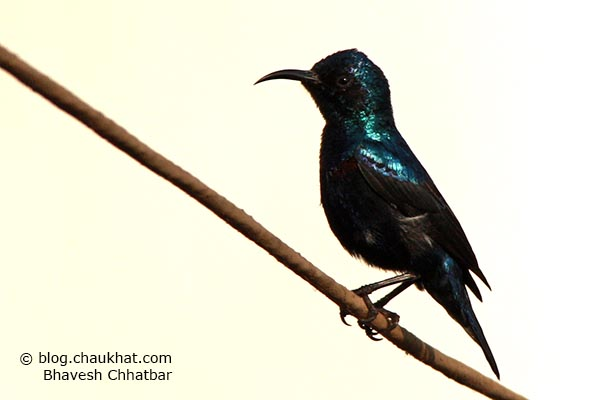 Stunningly beautiful male Purple Sunbird [Cinnyris asiaticus] in photogenic pose
