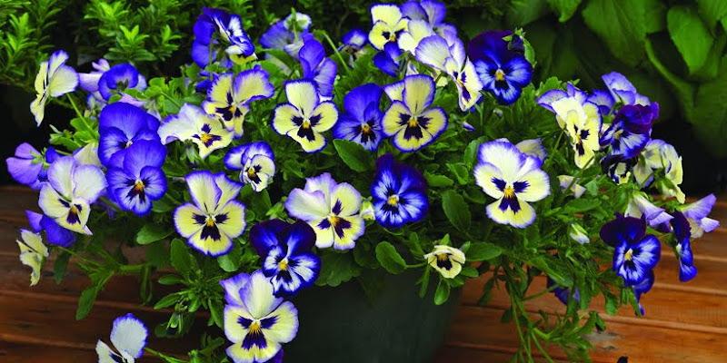 三色堇 WonderFall Blue Picotee Shades 1 | iGarden花寶愛花園