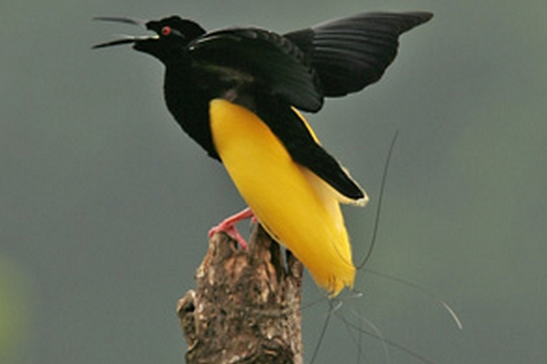 Burung Cenderawasih Mati-Kawat Seleucidis melanoleuca