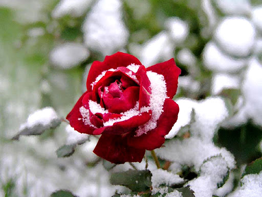 Snow_rose_flower.jpg