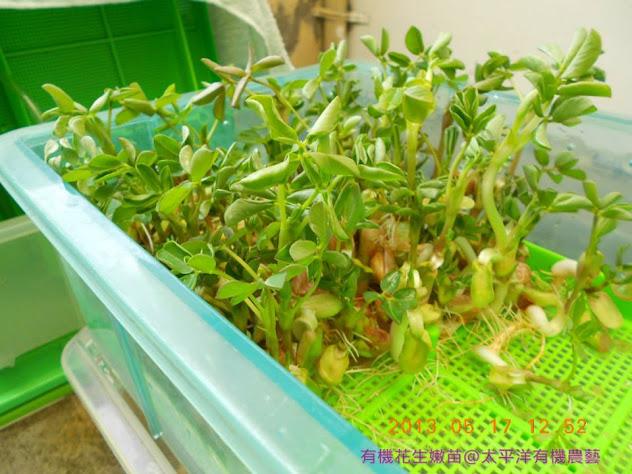 有機花生芽菜苗
