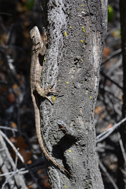 lizard gripping a tree with some long toes