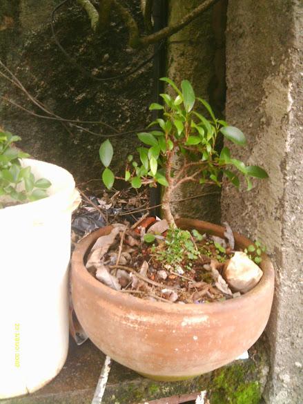 Ficus Microcarpa, finalização Rapida... IMAG0170