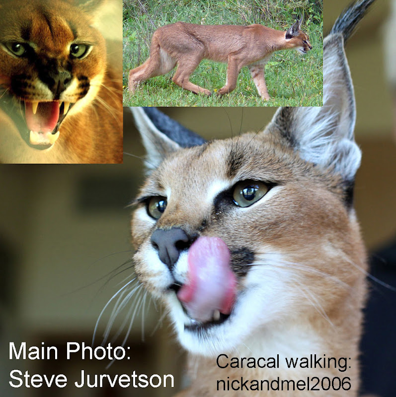 Caracal description