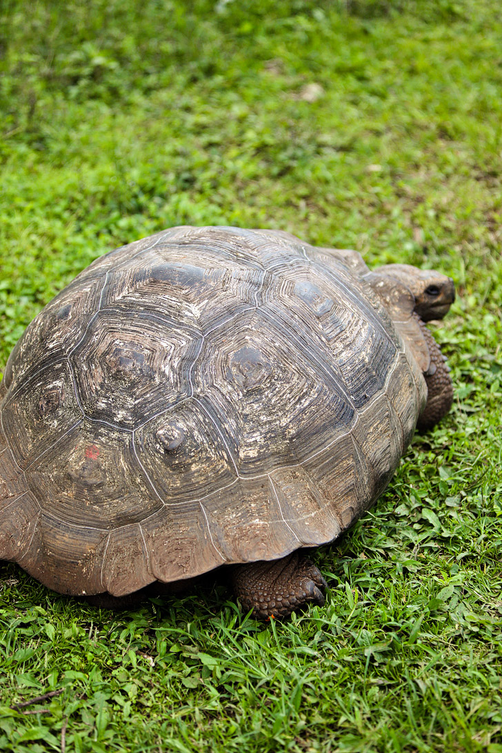 Giant Tortoises at Rancho Primicias.