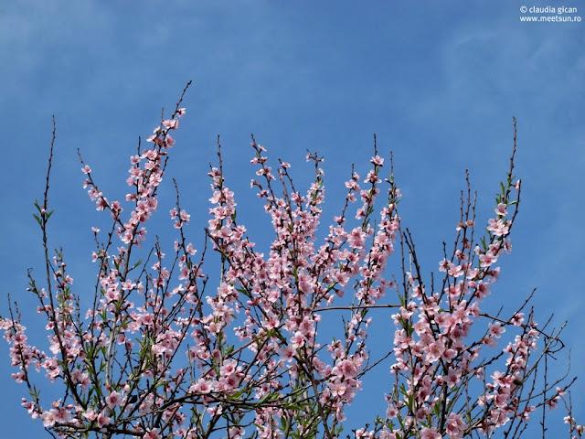flori de piersic