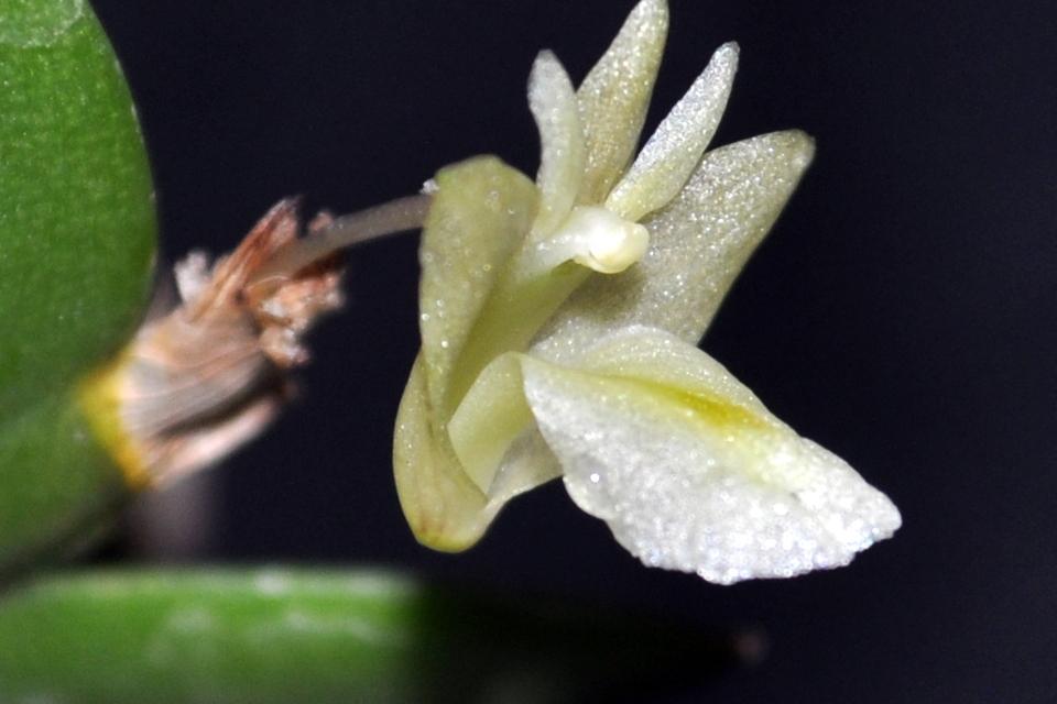Dendrobium nathanielis CSC_0018