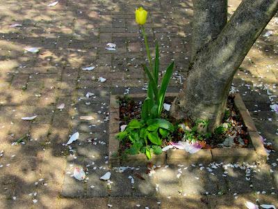 Fallen petals by a daffodil