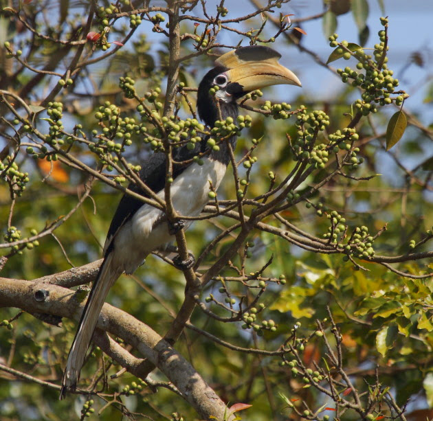 Malabar Pied Hornbill (Female) on the banks of the Kali river, Dandeli