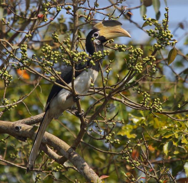 Malabar Pied Hornbill (Female) on the banks of the Kali river, Dandeli