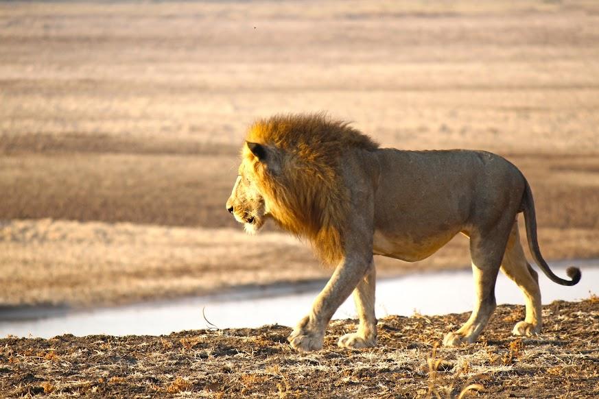 Fazer um SAFARI no Parque Nacional de SOUTH LUANGWA (o melhor de África) | Zâmbia