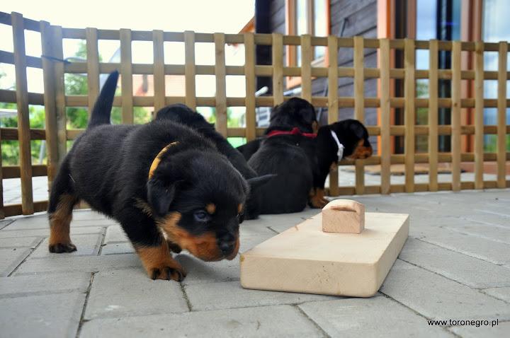 Szczeniak z drewnianą zabawką rottweiler
