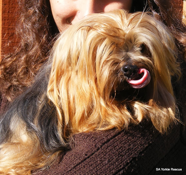 10 year old yorkshire terrier up for adoption