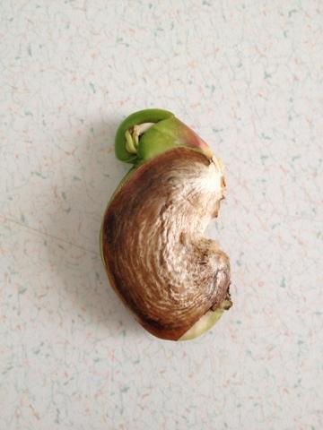 How To Grow Mango Tree In Pot : Growing Mangoes Indoors ...  |Mango Seed Inside
