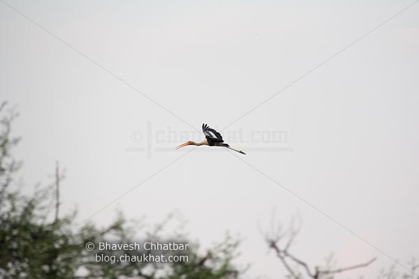 A distant painted stork in flight