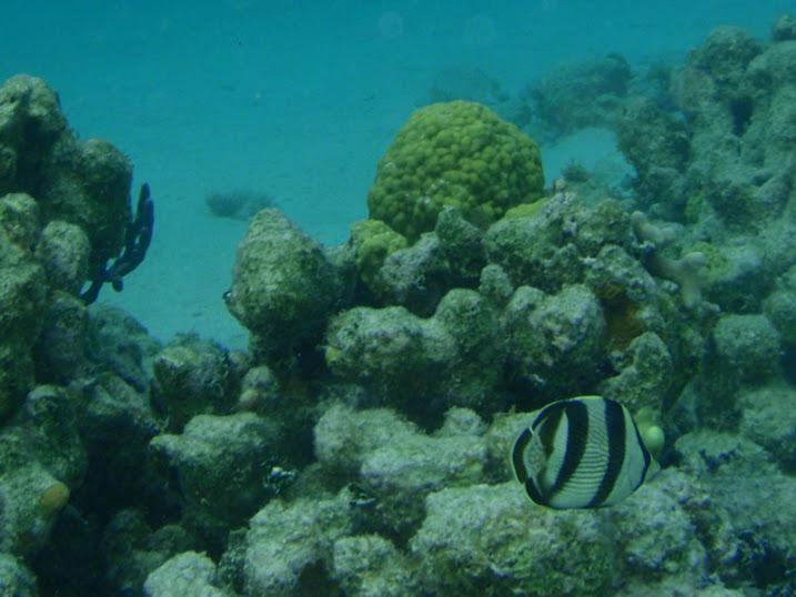 Chaetodon striatus (Banded Butterflyfish), Belize