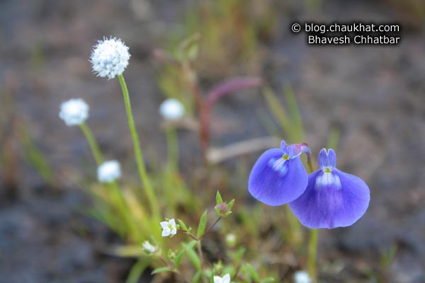 Violet Rabbit Flowers and Tiny White Flowers at Kas Plateau
