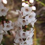 Coral Heath (Epacris microphylla) (179088)