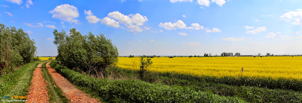 żuławskie rzepakowe pola