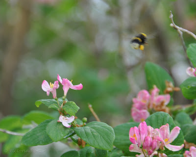 bumble-bee in flight