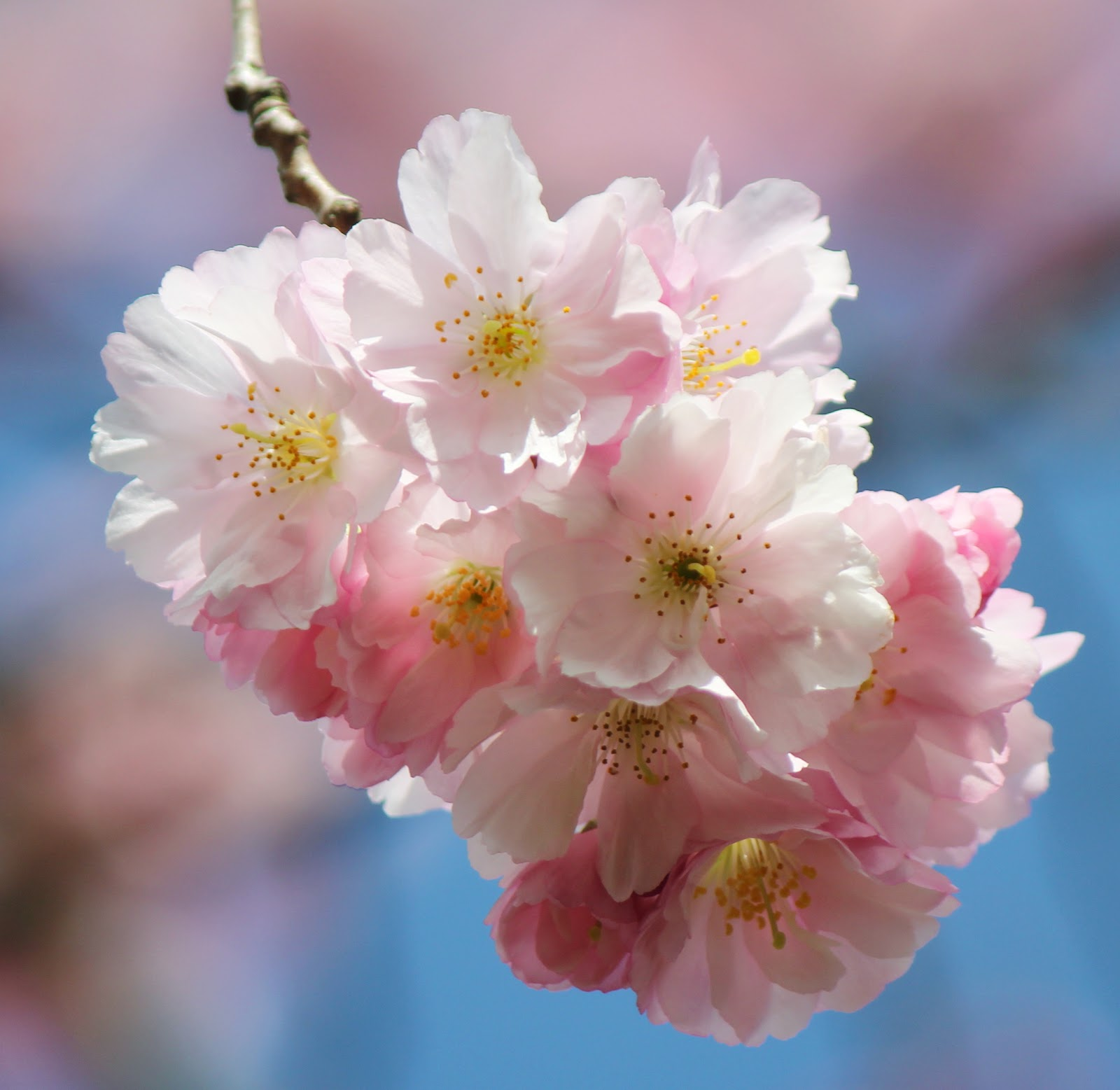 symbolism in the japanese quince Then, he saw a japanese quince which is a kind of tree from a different country and it symbols the new and rebirth of life the blackbird was singing which means the happiness and pleasure in the daily life.