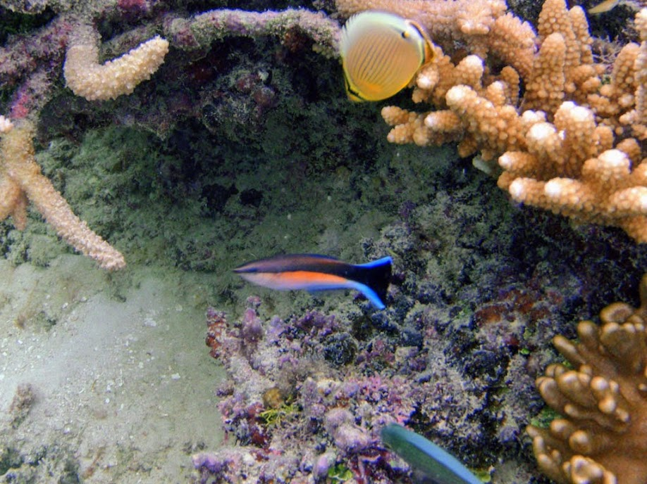 Undescribed Labroides sp. (Fiji Sunrise Cleaner Wrasse), Naigani Island, Fiji.