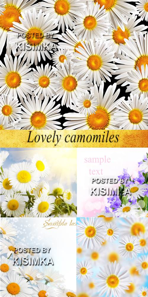 Stock Photo: Lovely camomiles