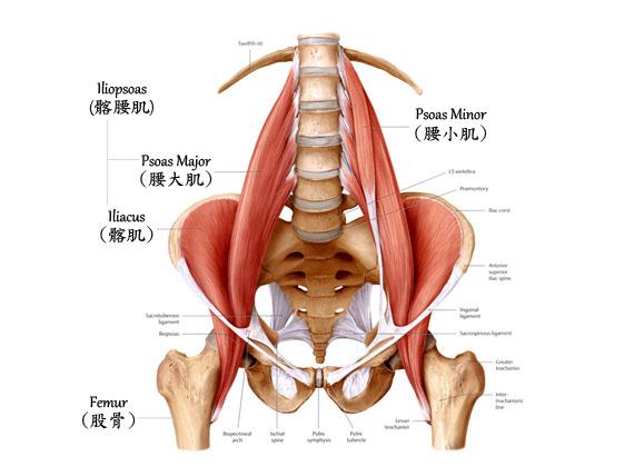 影響跑步姿勢的關鍵:腰肌(Psoas) | 山姆伯伯工作坊