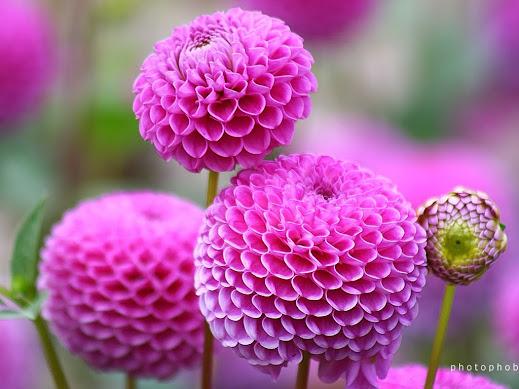 https://lh5.googleusercontent.com/-bsm-5qzs2-Q/Um2NAKtBTAI/AAAAAAAAB60/PURyuhp_VhM/w519-h389-no/Chrysanthemum-0096.jpg
