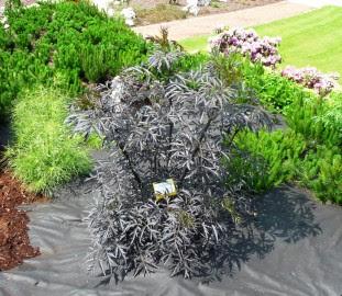 Bez czarny Aurea sambucus nigra Aurea