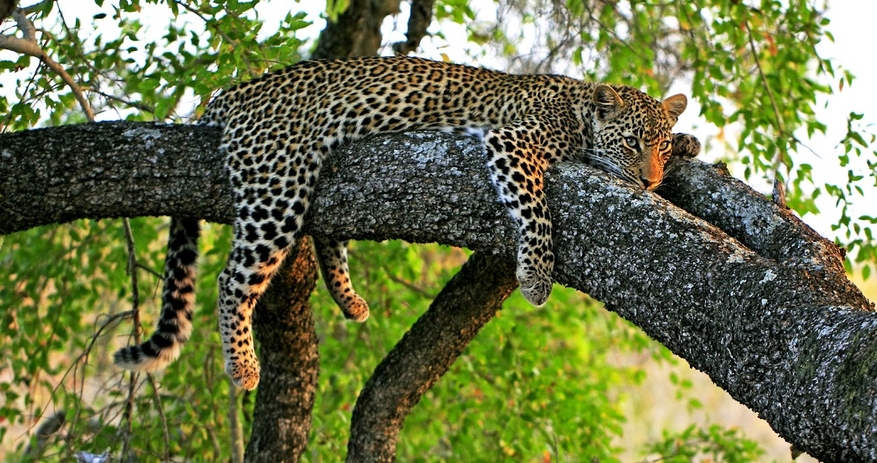 Leopard lay on a branch in Africa