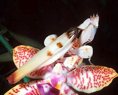 Orchid_mantis.jpg