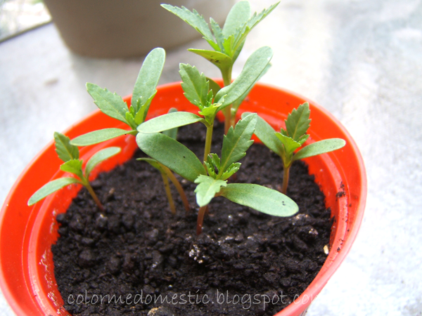 marigold seedlings 3 weeks old