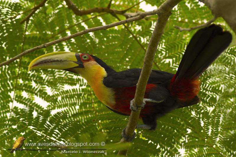 Tucán pico verde, Red-breasted Toucan, Ramphastos dicolorus