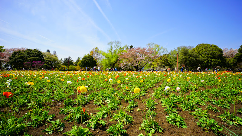 昭和記念公園 桜 写真15
