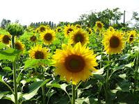 φυτό ήλιος,ηλιάδες νύμφες,ευλογημένο φυτό,plant sun, Iliadis nymphs, blessed plant