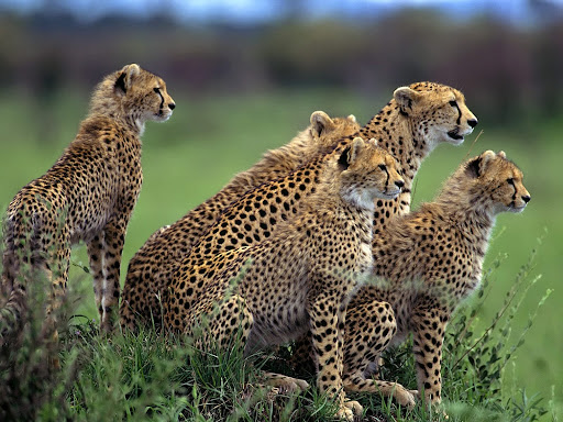 Anticipation, Cheetahs, Africa.jpg