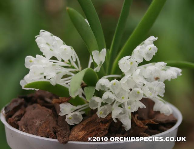 Растения из Тюмени. Краткий обзор - Страница 7 Podangis%252520dactyloceras2