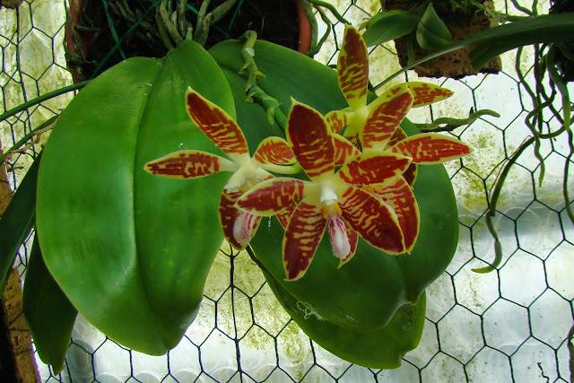 Phalaenopsis sumatrana DSC01523