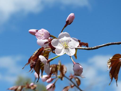 桜、開花しました!