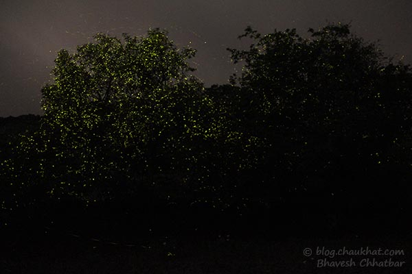 Fireflies / Light bugs of Bhorgiri, Bhimashankar