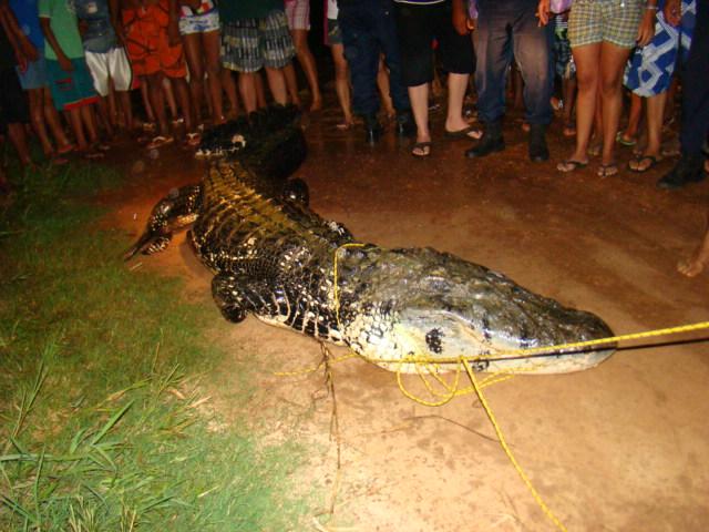 Questões e Fatos sobre Crocodilianos gigantes: Transferência de debate da comunidade Conflitos Selvagens.  - Página 3 100208_f_036
