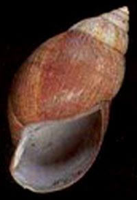 Achatina glutinosa Compedium79