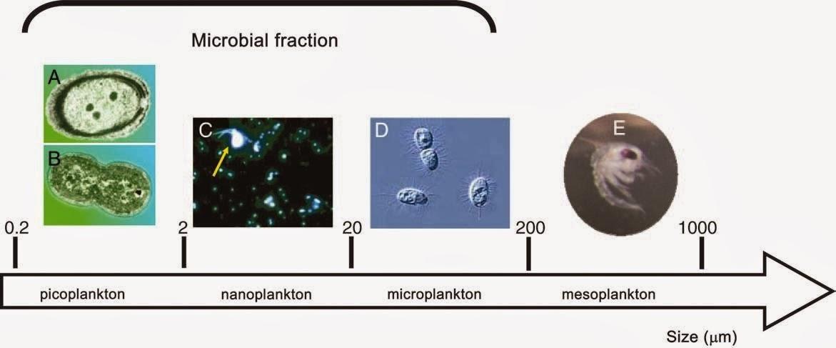 Alimentación Corales IV